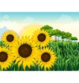 Beautiful sunflowers vector image