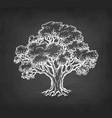 chalk sketch oak tree vector image vector image
