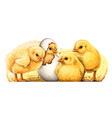 little yellow chickens wall sticker vector image