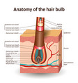 structure hair bulb in cross skin layer vector image vector image