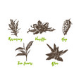 engraved style herbs and spices collection vector image