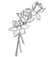 sketch narcissus flowers blossom vector image