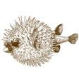 engraving drawing of porcupinefish blowfish vector image vector image