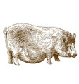 engraving of pig vector image vector image