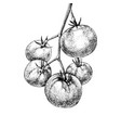 hand drawn tomatoes branch vector image