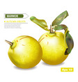 quince fruits realistic detailed 3d vector image