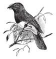 black phoebe vintage vector image vector image
