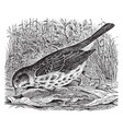 fox sparrow vintage vector image vector image