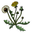 dandelions with leaves flower vector image vector image