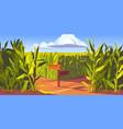 green corn fields maize plants sandy road cartoon vector image vector image