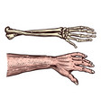 human and skeleton hands bony arm drawn engraved vector image vector image