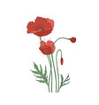 blooming poppy flowers and buds hand drawn on vector image vector image