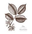 american elm botanical vector image