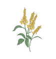 melilot or sweet clover flowers or inflorescences