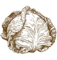 engraving of cabbage vector image vector image