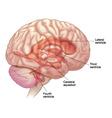 Diagram of brain vector image vector image