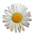 Camomile flower vector | Price: 3 Credits (USD $3)