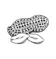 hand drawn peanut vector image vector image