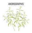 Andrographis flowering plant isolated on white