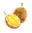 watercolor durian vector image vector image