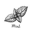 ink sketch of mint vector image vector image