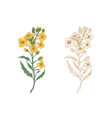 yellow canola flowers and sketch rapeseed sprig vector image