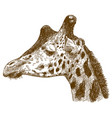 engraving drawing giraffe head vector image