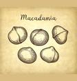 ink sketch of macadamia vector image vector image