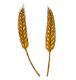 wheat spikelet in engraving style design element vector image