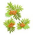 Rowan branches with leaves vector image vector image