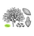 cacao tree and fruits ink sketch vector image vector image