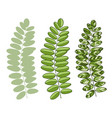 green acacia leaves isolated for interior design vector image vector image