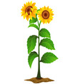 sunflower plant vector image vector image