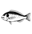gilt-head bream fish black and white vector image