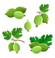 set of cartoon juicy gooseberry with green leaves vector image vector image