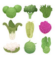 cabbage pictures farm vegetarian ingredients eco vector image