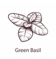 basil icon botanical hand drawn sketch vector image