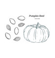 pumpkin seed hand draw vector image