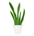 modern sansevieria great design for any purposes vector image vector image