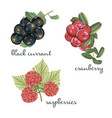 set of berries black currant cranberry raspberry vector image
