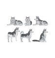 siberian husky set purebred doggy in vector image vector image