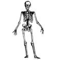 Hand drawn skeleton vector image