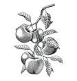 apple branch hand drawing vintage engraving vector image vector image