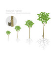 natural rubber tree plant growth stages set vector image vector image