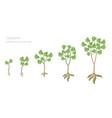 cassava plant growth stages set manihot esculenta vector image vector image