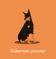 doberman pinscher dog on orange background vector image