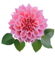 Pink chrysanthemum or dahlias flower with leaves vector image vector image