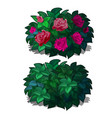 set compact rounded shrubs with flowers roses vector image