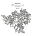 elderflower branch isolated on white background vector image vector image