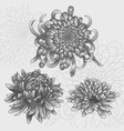 isolated flower set silver chrysanthemums vector image